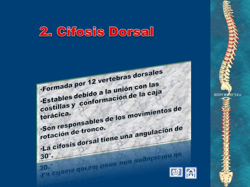 2. Cifosis Dorsal Formada por 12 vertebras dorsales