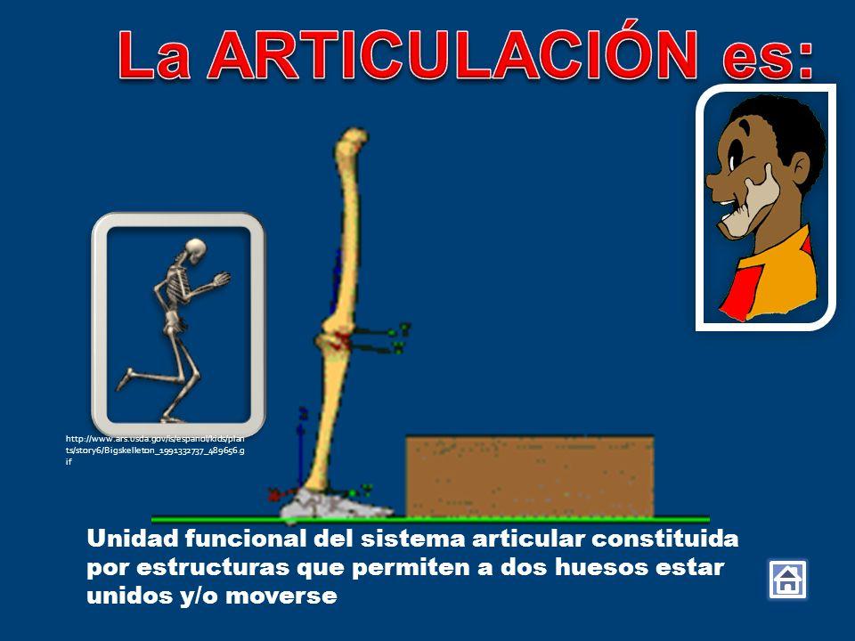 La ARTICULACIÓN es: Unidad funcional del sistema articular constituida por estructuras que permiten a dos huesos estar unidos y/o moverse.
