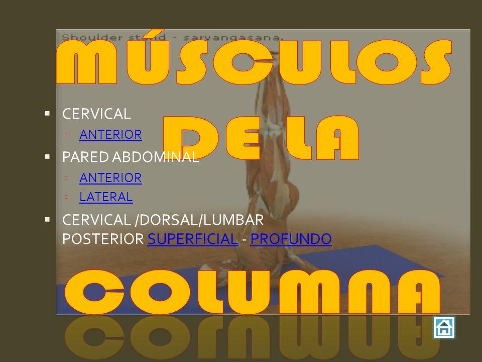 MÚSCULOS DE LA COLUMNA CERVICAL PARED ABDOMINAL