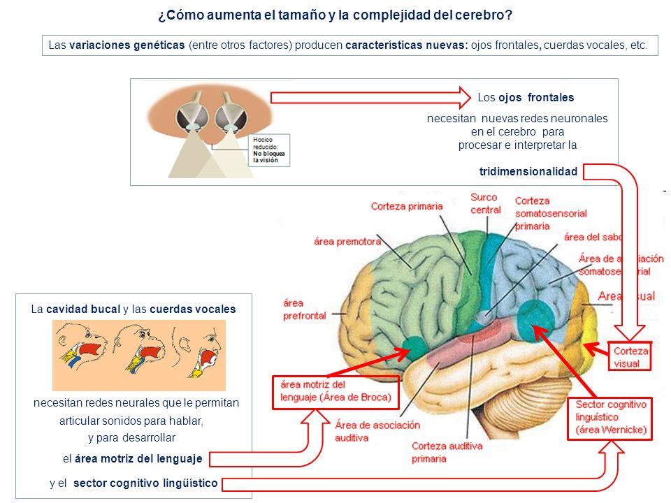 ¿Cómo aumenta el tamaño y la complejidad del cerebro