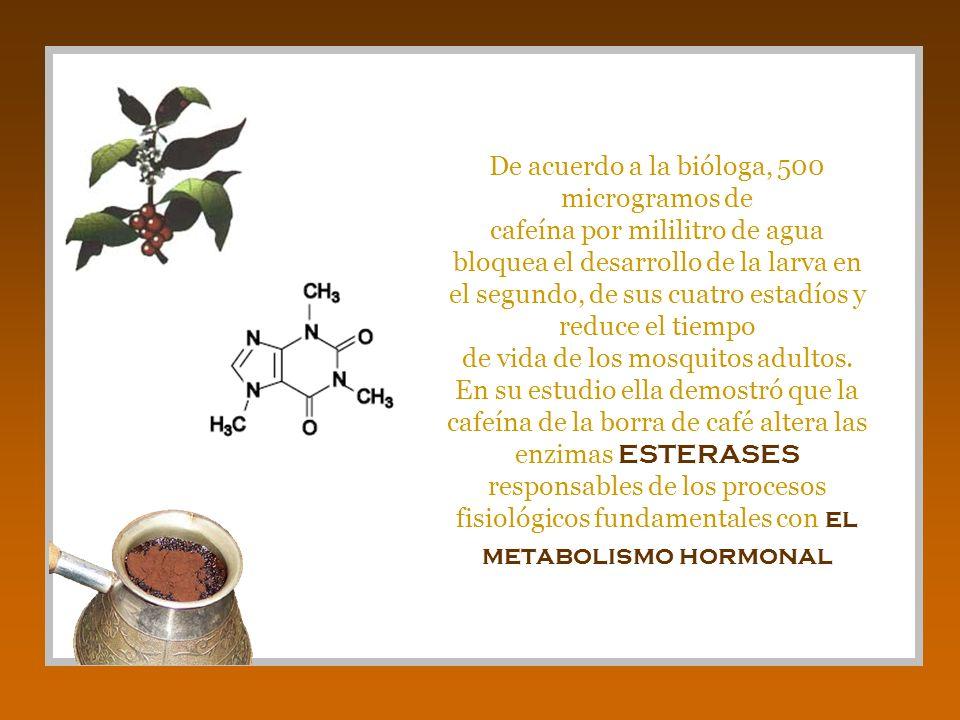 De acuerdo a la bióloga, 500 microgramos de cafeína por mililitro de agua bloquea el desarrollo de la larva en el segundo, de sus cuatro estadíos y reduce el tiempo de vida de los mosquitos adultos.