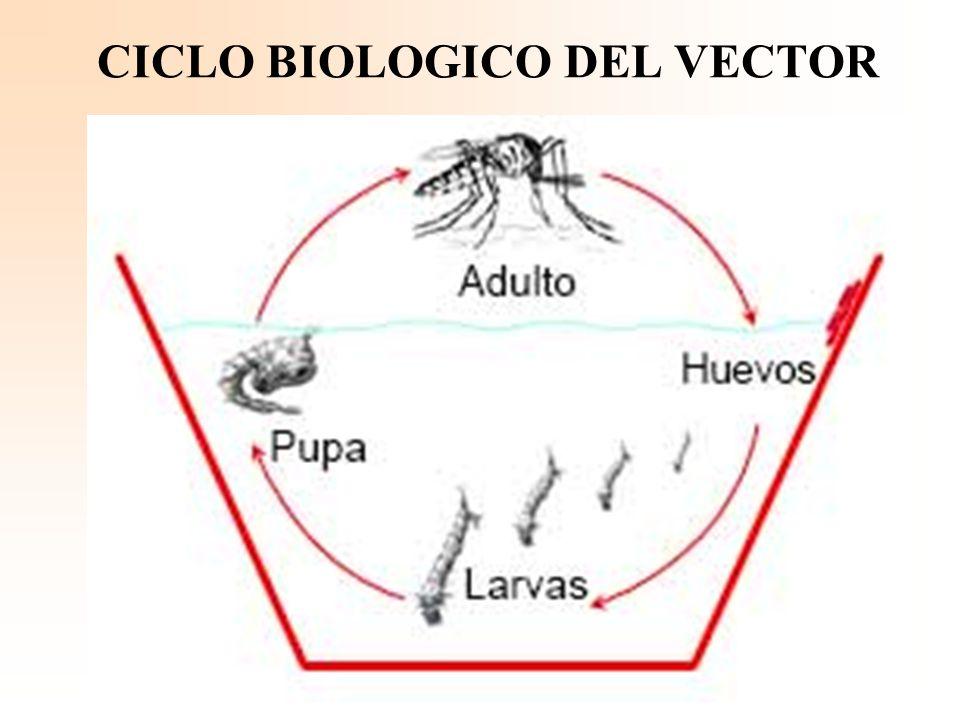 CICLO BIOLOGICO DEL VECTOR