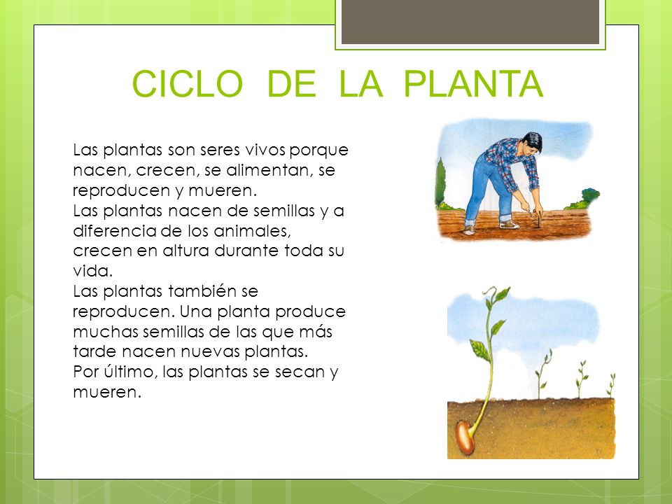 CICLO DE LA PLANTA Las plantas son seres vivos porque nacen, crecen, se alimentan, se reproducen y mueren.