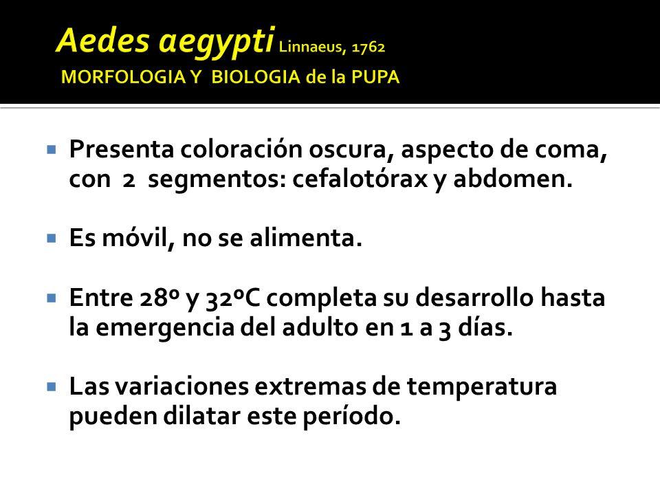 Aedes aegypti Linnaeus, 1762 MORFOLOGIA Y BIOLOGIA de la PUPA