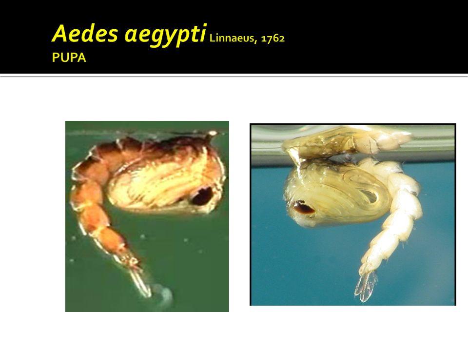 Aedes aegypti Linnaeus, 1762 PUPA