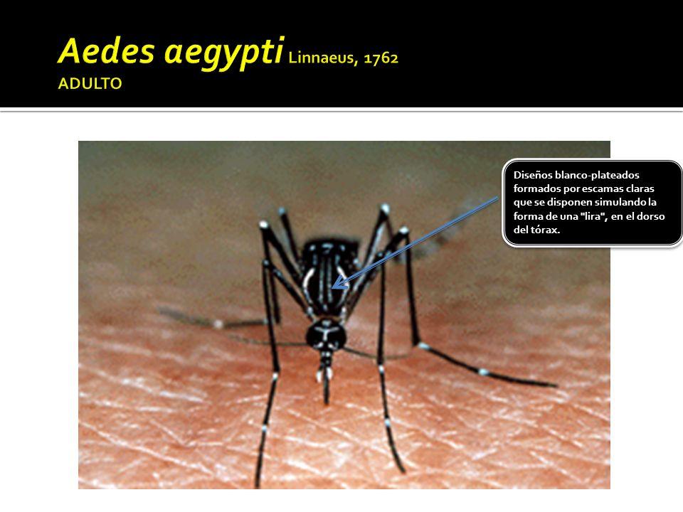 Aedes aegypti Linnaeus, 1762 ADULTO