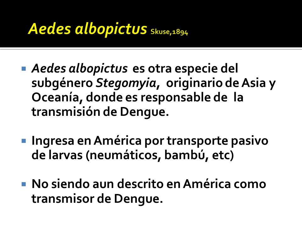 Aedes albopictus Skuse,1894