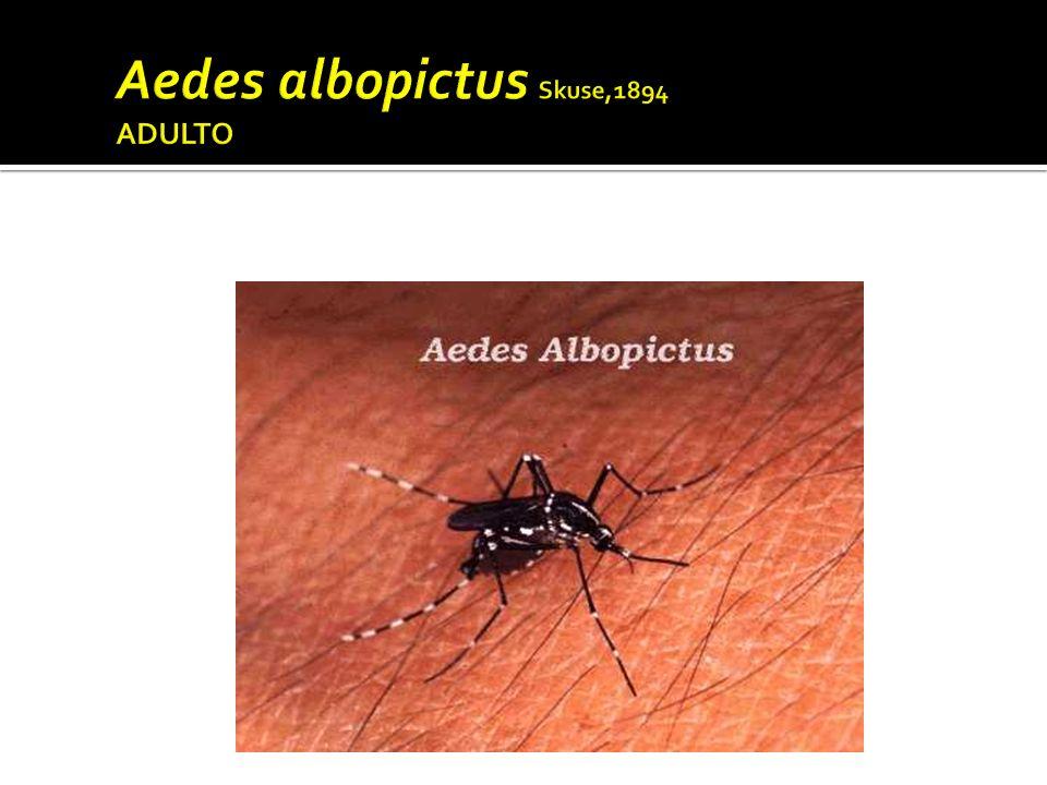 Aedes albopictus Skuse,1894 ADULTO