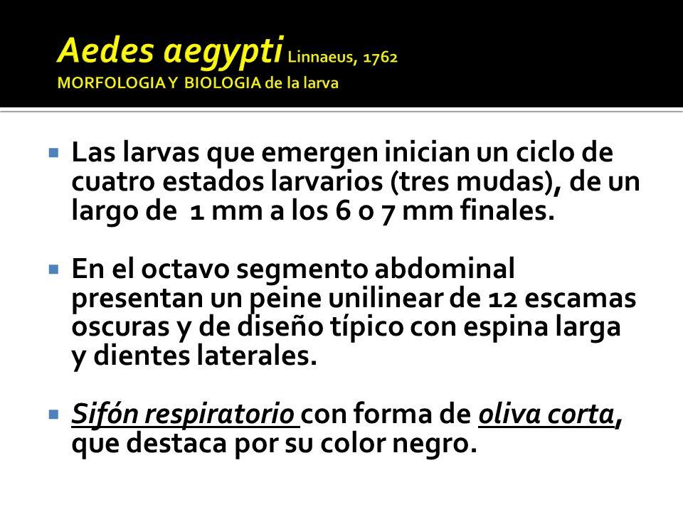 Aedes aegypti Linnaeus, 1762 MORFOLOGIA Y BIOLOGIA de la larva
