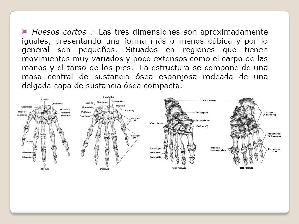 Huesos cortos .- Las tres dimensiones son aproximadamente iguales, presentando una forma más o menos cúbica y por lo general son pequeños.