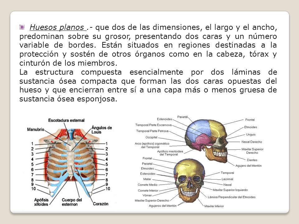 Huesos planos .- que dos de las dimensiones, el largo y el ancho, predominan sobre su grosor, presentando dos caras y un número variable de bordes. Están situados en regiones destinadas a la protección y sostén de otros órganos como en la cabeza, tórax y cinturón de los miembros.