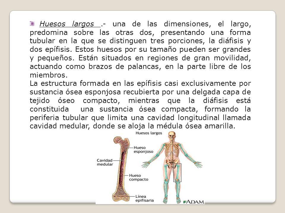 Huesos largos .- una de las dimensiones, el largo, predomina sobre las otras dos, presentando una forma tubular en la que se distinguen tres porciones, la diáfisis y dos epífisis. Estos huesos por su tamaño pueden ser grandes y pequeños. Están situados en regiones de gran movilidad, actuando como brazos de palancas, en la parte libre de los miembros.