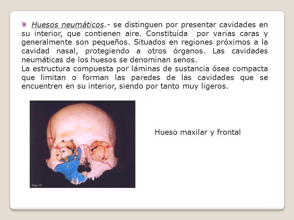 Huesos neumáticos.- se distinguen por presentar cavidades en su interior, que contienen aire. Constituida por varias caras y generalmente son pequeños. Situados en regiones próximos a la cavidad nasal, protegiendo a otros órganos. Las cavidades neumáticas de los huesos se denominan senos.