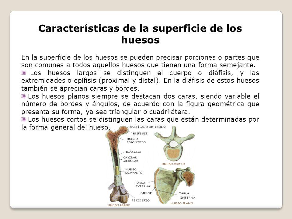 Características de la superficie de los huesos