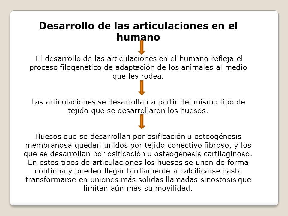 Desarrollo de las articulaciones en el humano