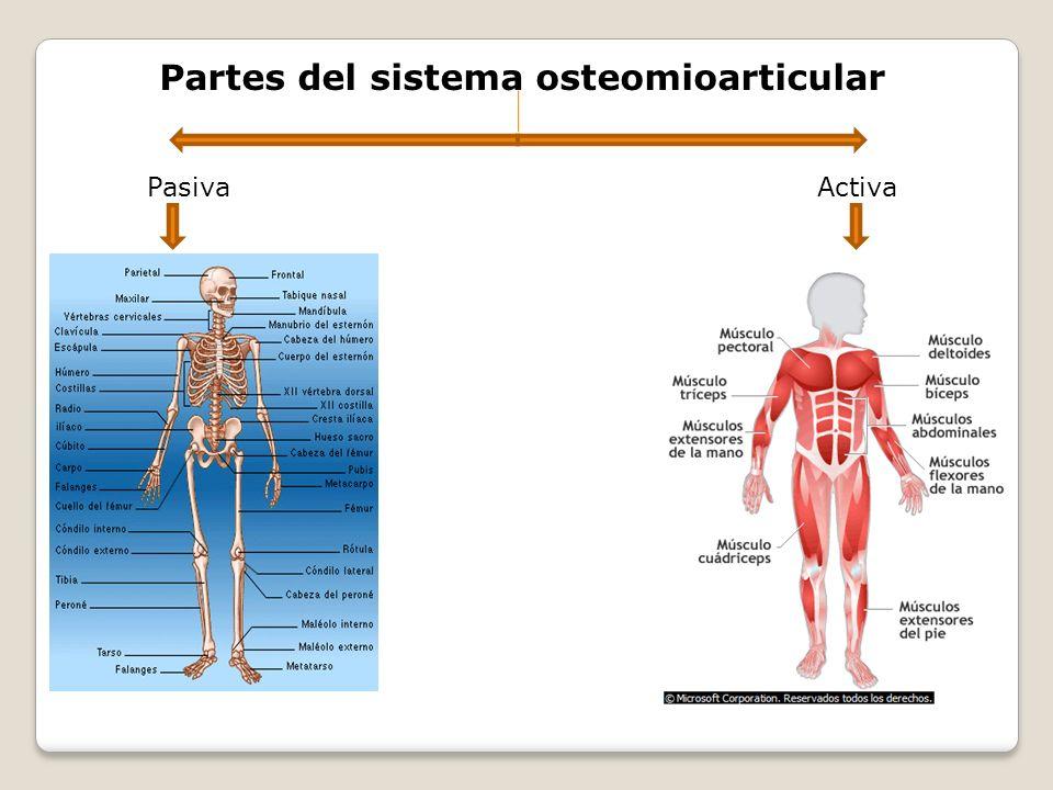 Partes del sistema osteomioarticular