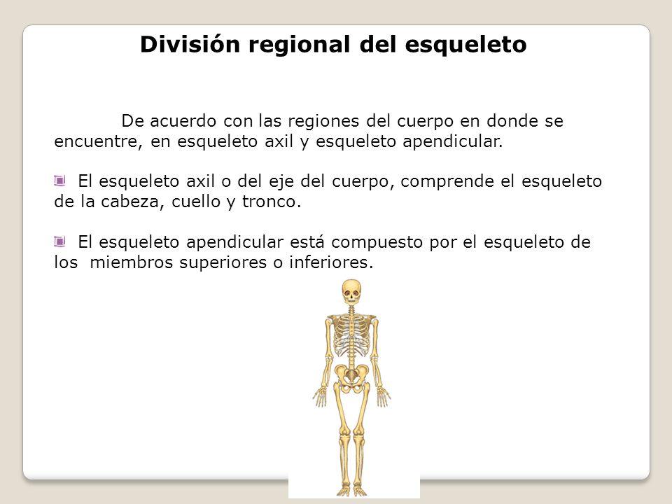 División regional del esqueleto