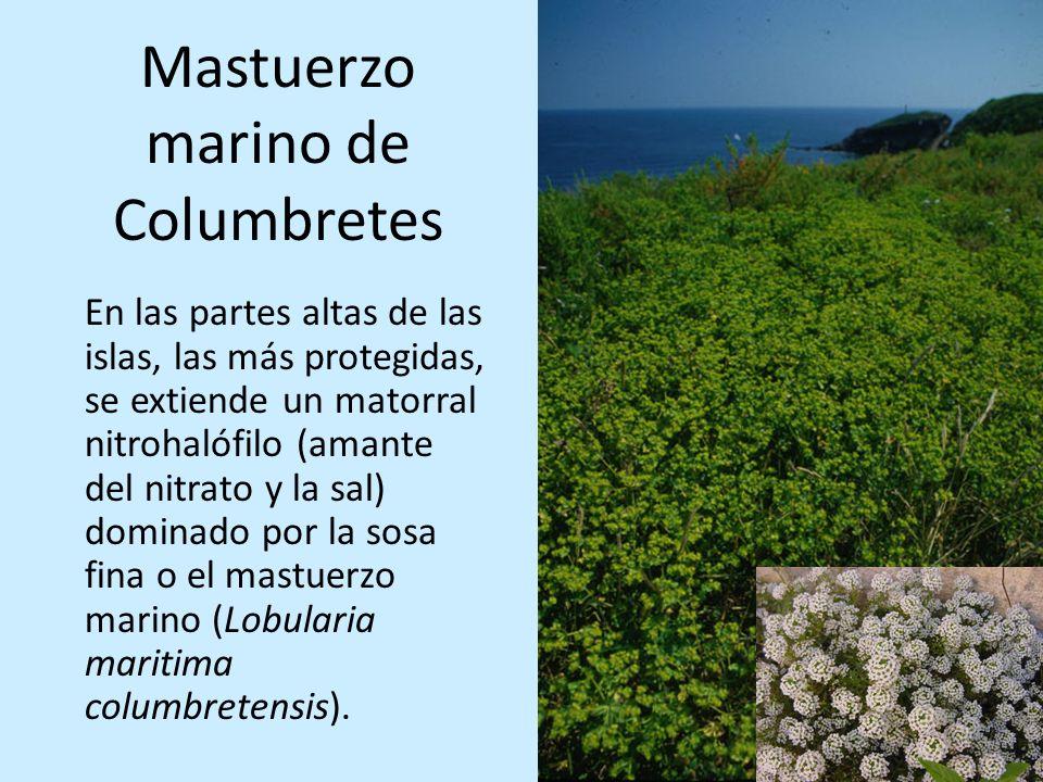 Mastuerzo marino de Columbretes