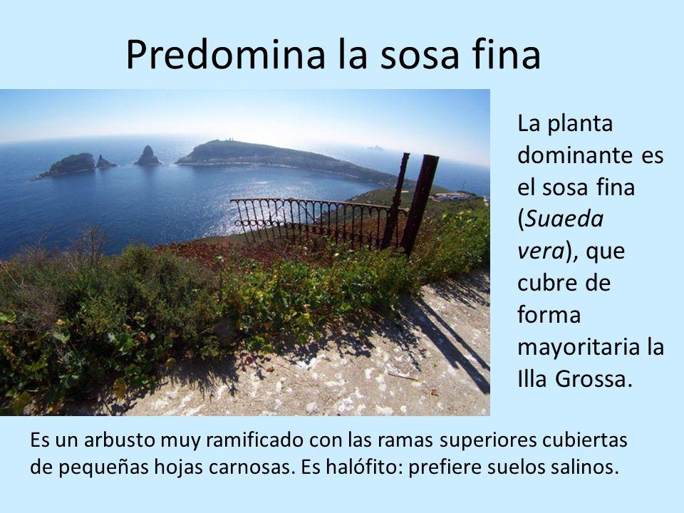 Predomina la sosa finaLa planta dominante es el sosa fina (Suaeda vera), que cubre de forma mayoritaria la Illa Grossa.