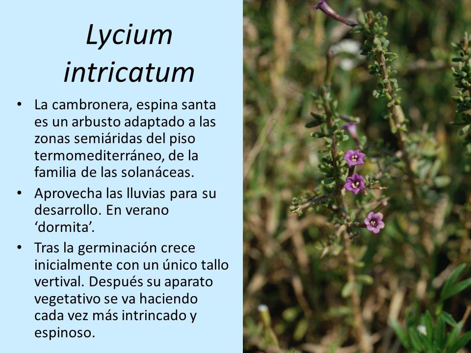 Lycium intricatum