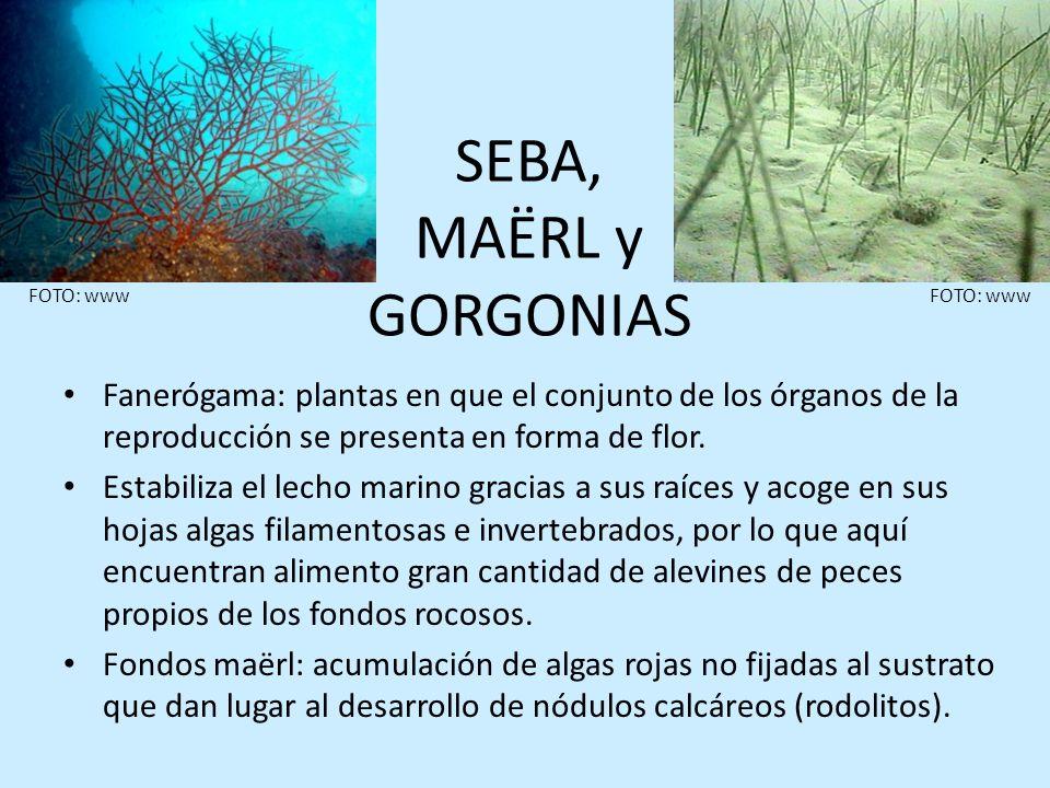 SEBA, MAËRL y GORGONIASFOTO: www. FOTO: www. Fanerógama: plantas en que el conjunto de los órganos de la reproducción se presenta en forma de flor.