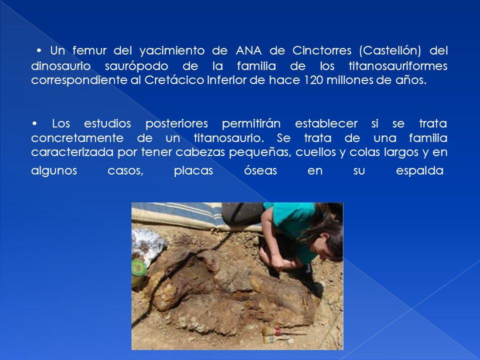 • Un femur del yacimiento de ANA de Cinctorres (Castellón) del dinosaurio saurópodo de la familia de los titanosauriformes correspondiente al Cretácico Inferior de hace 120 millones de años.