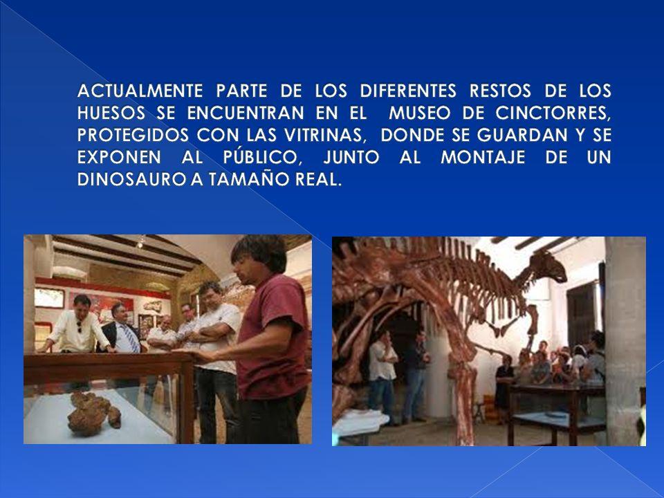 Actualmente parte de los diferentes restos de los huesos se encuentran en el Museo de Cinctorres, protegidos con las Vitrinas, donde se guardan y se exponen al público, junto al montaje de un dinosauro a tamaño real.