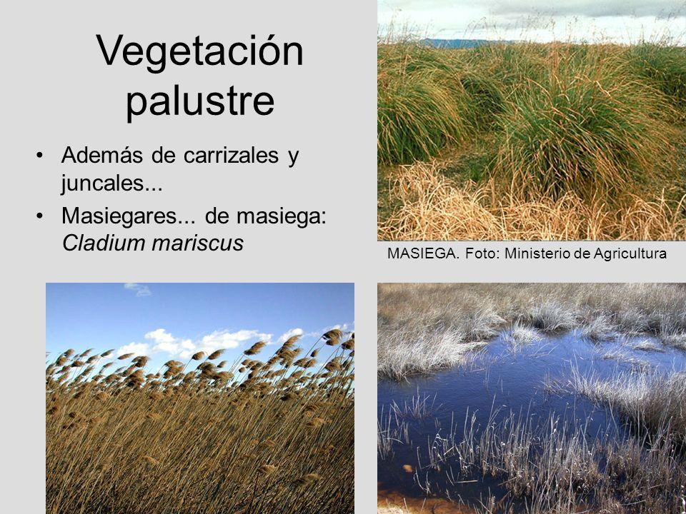 Vegetación palustre Además de carrizales y juncales...