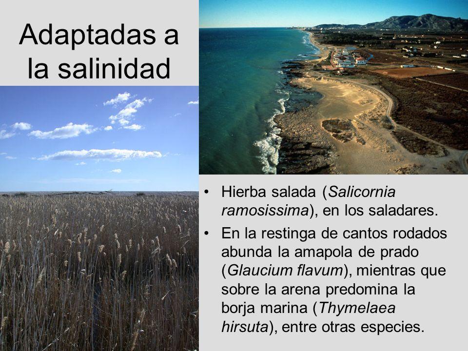 Adaptadas a la salinidad