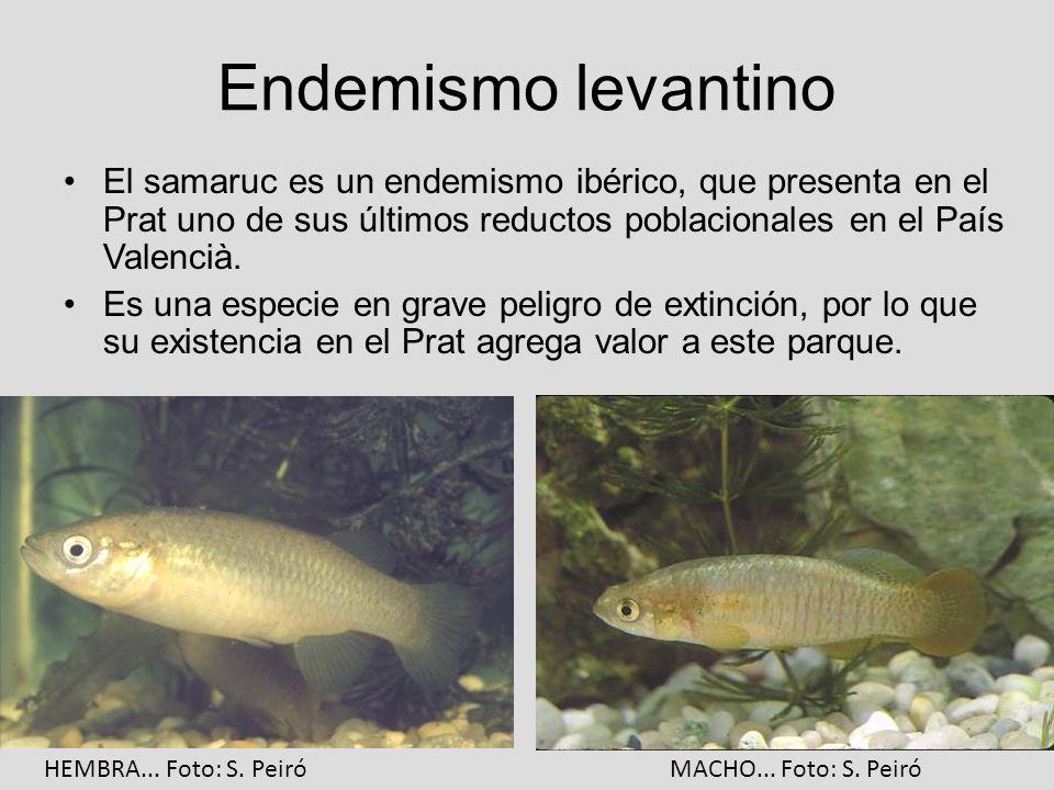 Endemismo levantinoEl samaruc es un endemismo ibérico, que presenta en el Prat uno de sus últimos reductos poblacionales en el País Valencià.