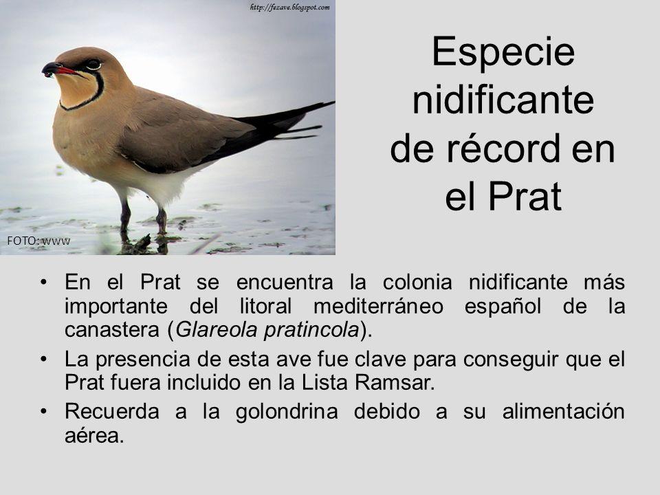 Especie nidificante de récord en el Prat