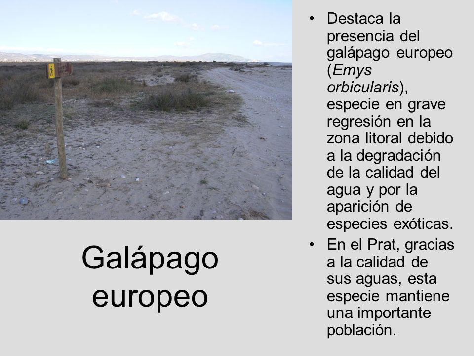 Destaca la presencia del galápago europeo (Emys orbicularis), especie en grave regresión en la zona litoral debido a la degradación de la calidad del agua y por la aparición de especies exóticas.