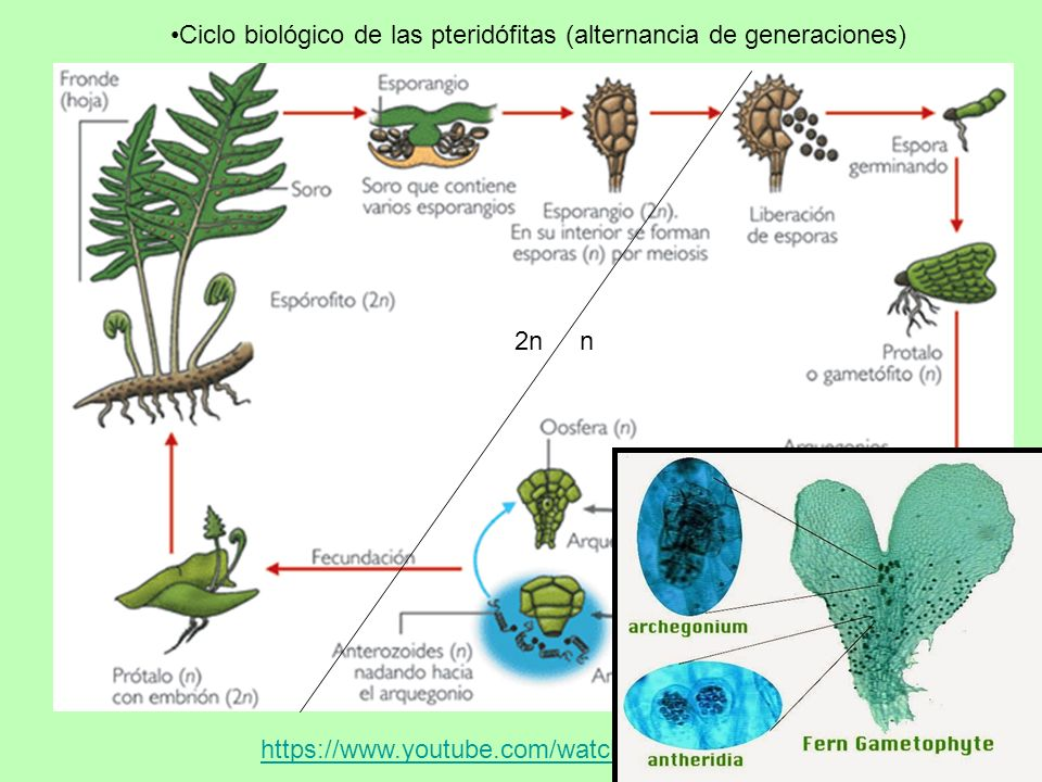 Ciclo biológico de las pteridófitas (alternancia de generaciones)