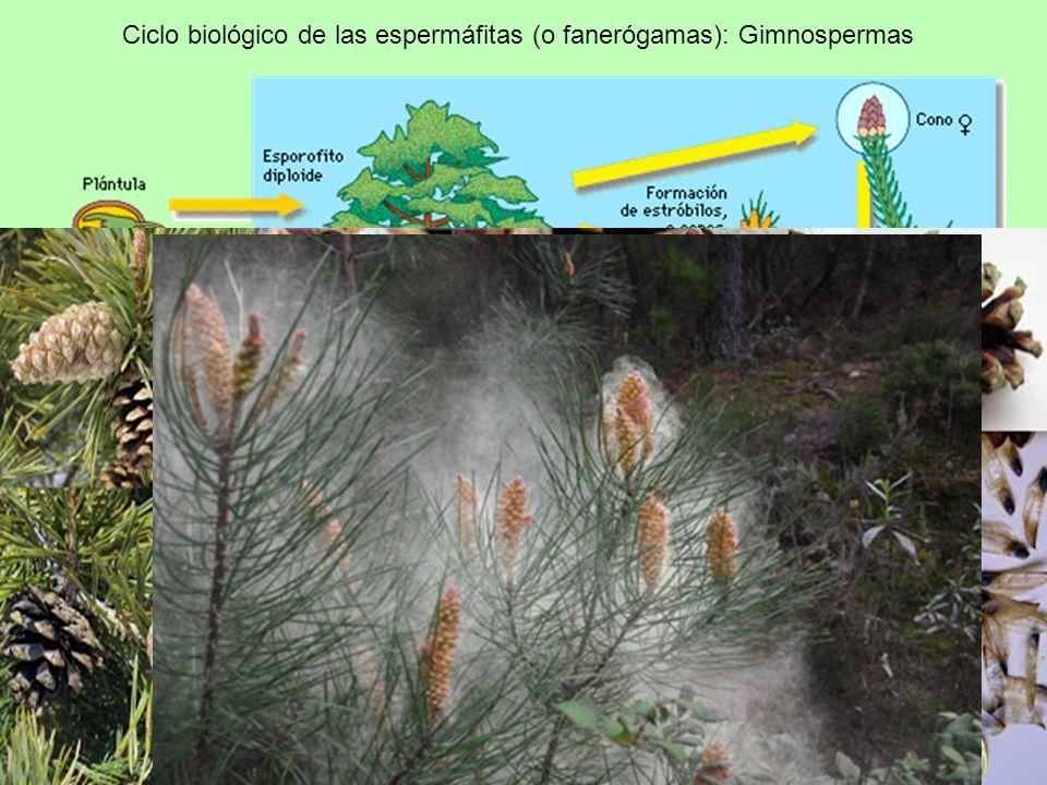 Ciclo biológico de las espermáfitas (o fanerógamas): Gimnospermas