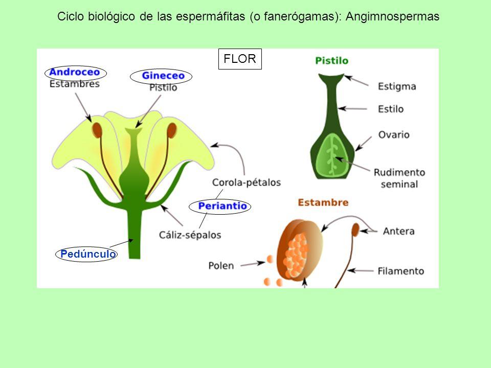 Ciclo biológico de las espermáfitas (o fanerógamas): Angimnospermas