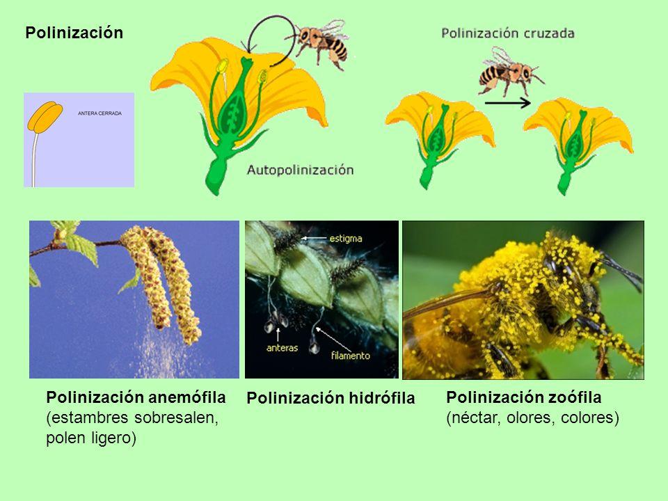 Polinización Polinización anemófila. (estambres sobresalen, polen ligero) Polinización hidrófila.