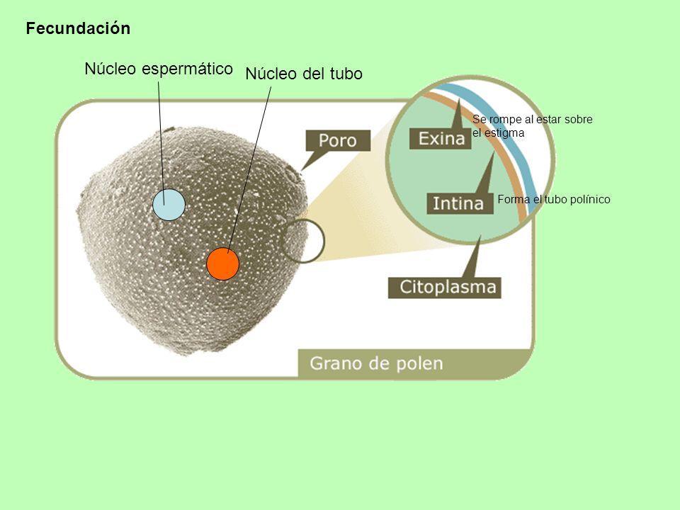 Fecundación Núcleo espermático Núcleo del tubo