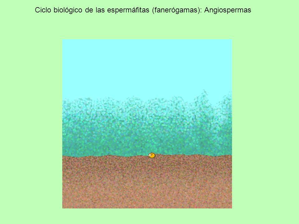 Ciclo biológico de las espermáfitas (fanerógamas): Angiospermas