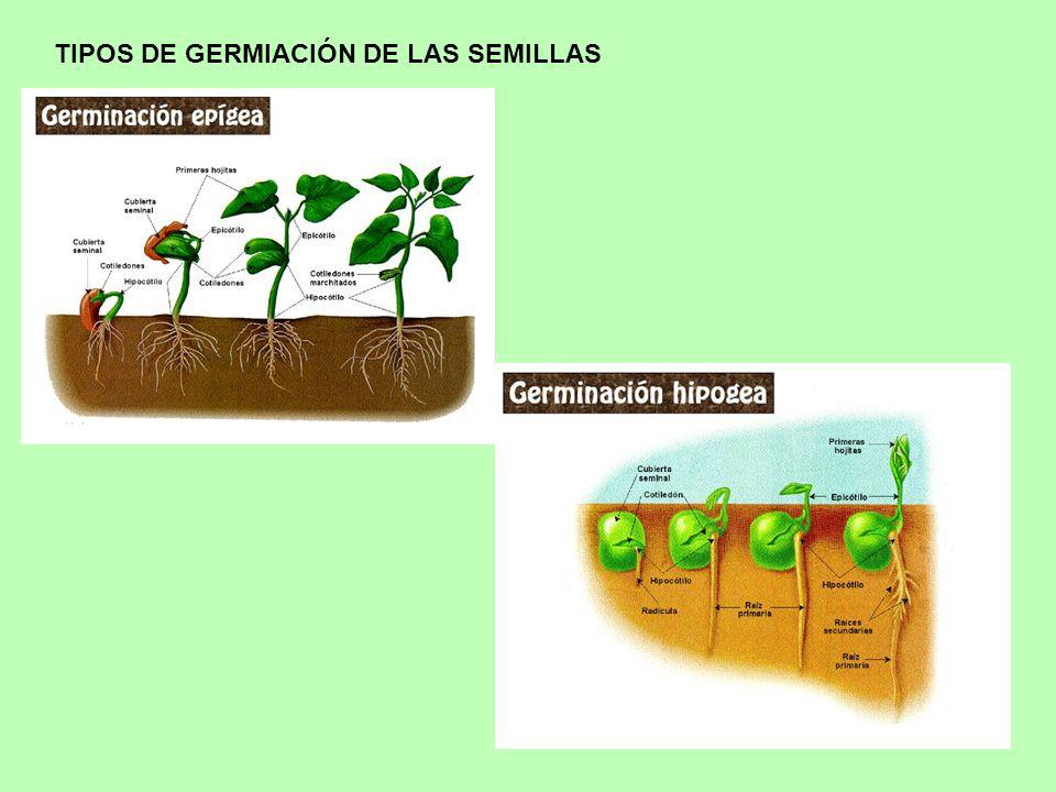 TIPOS DE GERMIACIÓN DE LAS SEMILLAS