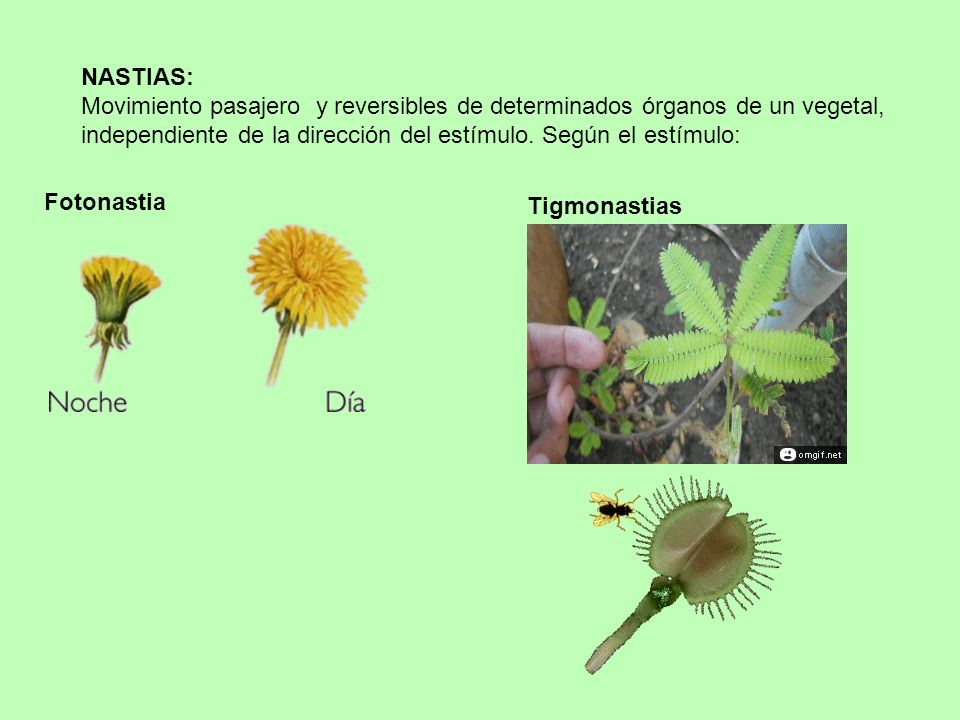 NASTIAS: Movimiento pasajero y reversibles de determinados órganos de un vegetal, independiente de la dirección del estímulo. Según el estímulo: