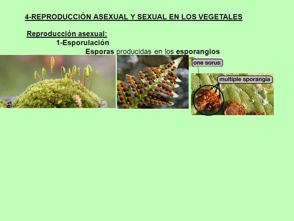 4-REPRODUCCIÓN ASEXUAL Y SEXUAL EN LOS VEGETALES