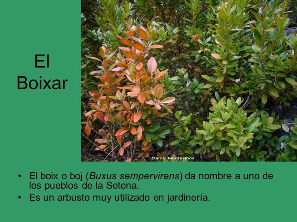 El Boixar El boix o boj (Buxus sempervirens) da nombre a uno de los pueblos de la Setena.
