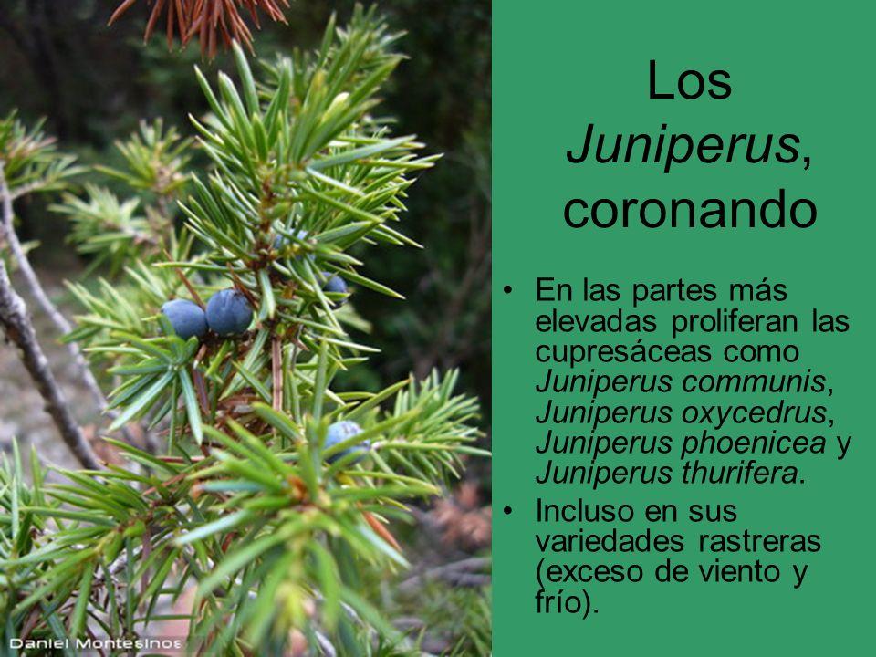 Los Juniperus, coronando