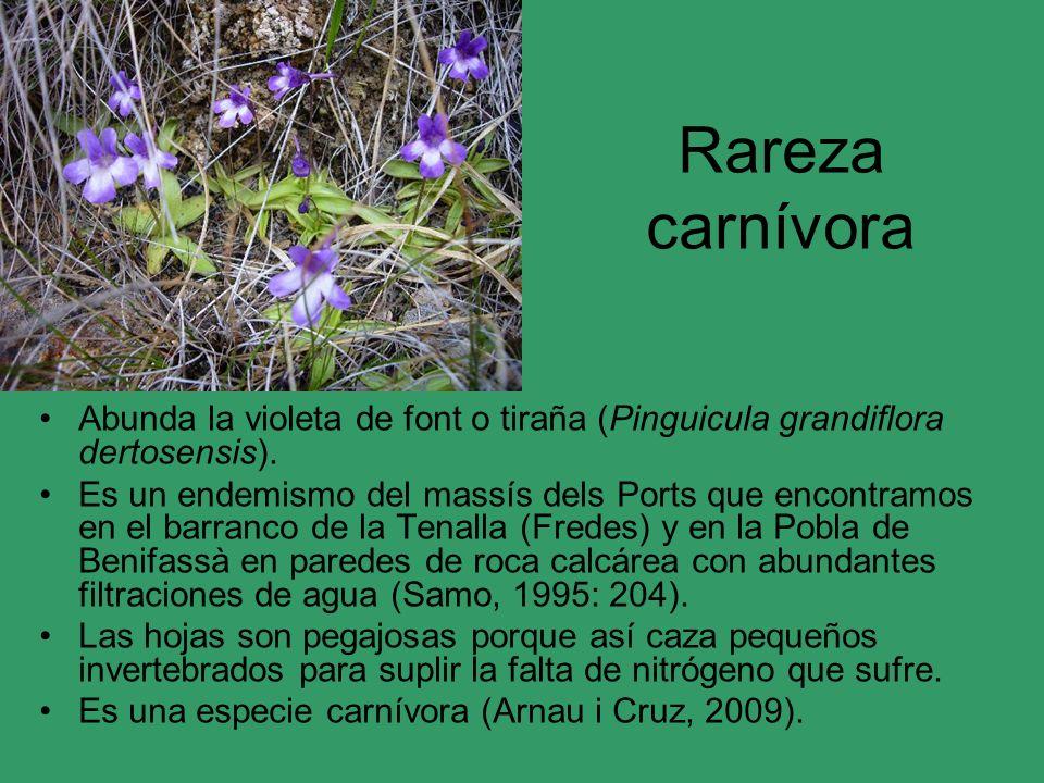 Rareza carnívora Abunda la violeta de font o tiraña (Pinguicula grandiflora dertosensis).