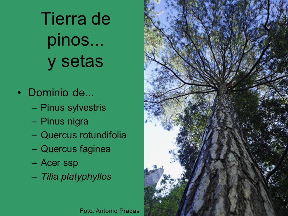 Tierra de pinos... y setas Dominio de... Pinus sylvestris Pinus nigra