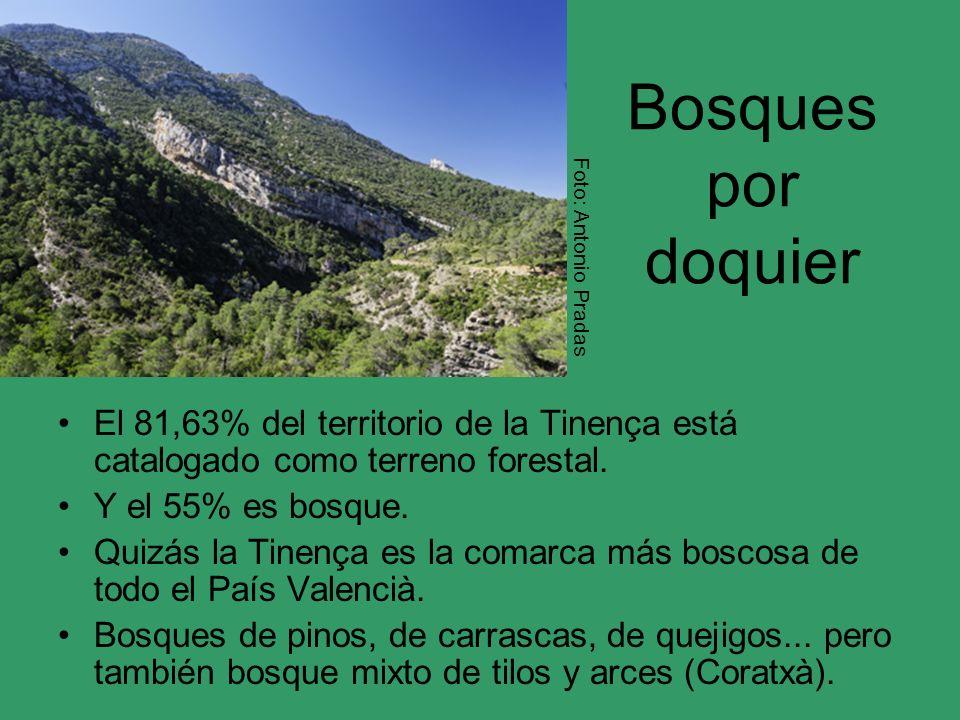Bosques por doquier Foto: Antonio Pradas. El 81,63% del territorio de la Tinença está catalogado como terreno forestal.