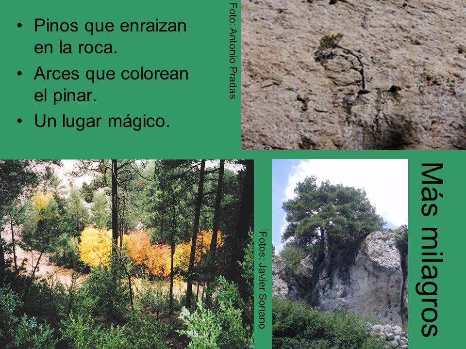 Más milagros Pinos que enraizan en la roca.