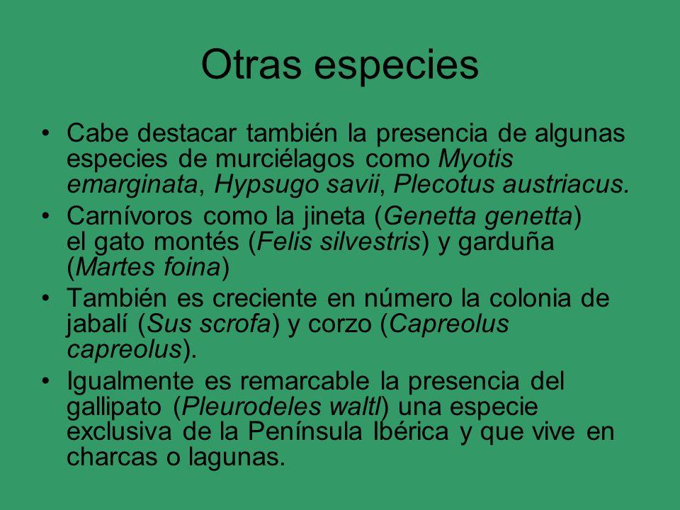 Otras especies Cabe destacar también la presencia de algunas especies de murciélagos como Myotis emarginata, Hypsugo savii, Plecotus austriacus.