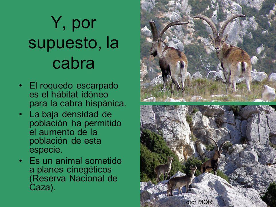 Y, por supuesto, la cabra El roquedo escarpado es el hábitat idóneo para la cabra hispánica.