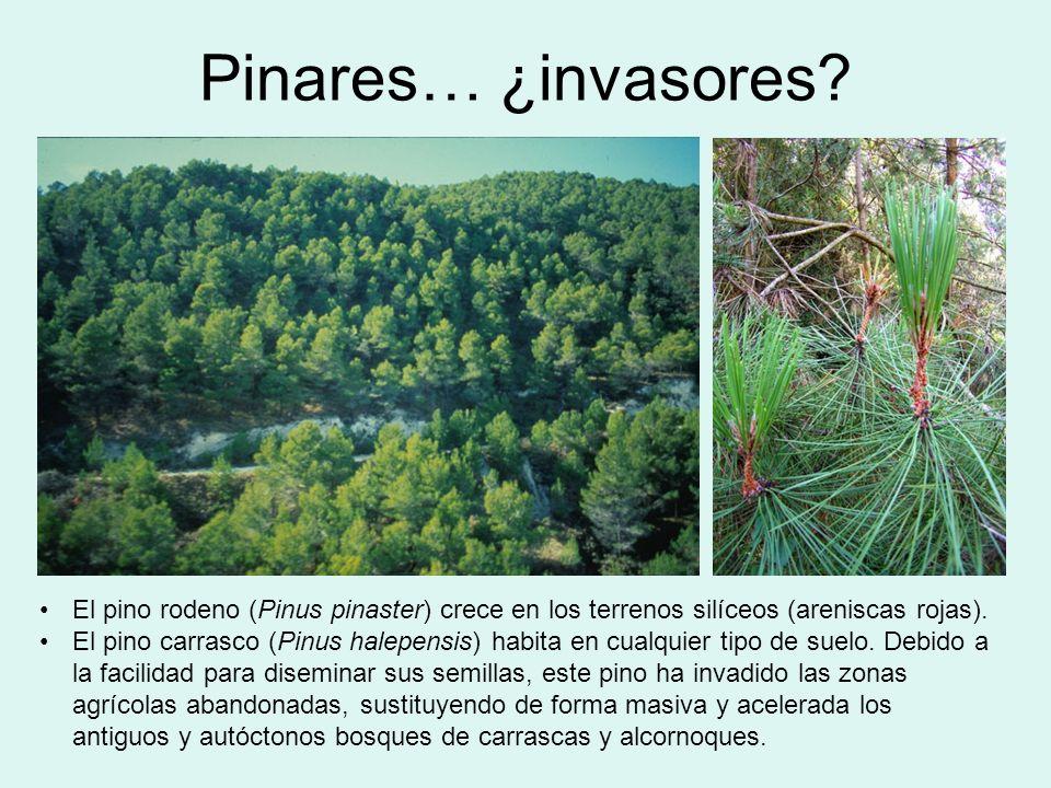Pinares… ¿invasores El pino rodeno (Pinus pinaster) crece en los terrenos silíceos (areniscas rojas).